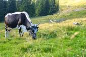 Cows grazing on a green meadow — Stock Photo
