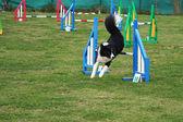 Dog agility — Stock Photo
