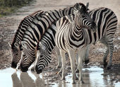Group of zebras in Etosha National Park — Stok fotoğraf