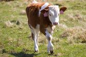Small calf — Stock Photo