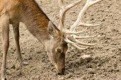 Deer at close range — Stock Photo