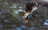Duckling drinks water from a puddle — Stock Photo