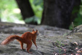 Red Squirrel looking for nuts — Foto de Stock
