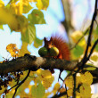 Постер, плакат: Red squirrel with nuts in your mouth
