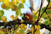 Red squirrel with nuts in your mouth — Stock Photo