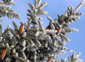 Snowy fir cone — Photo