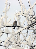 Sparrow  perched on a snow covered tree limb — Stock Photo