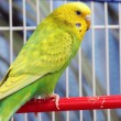 Green parrot in a cage — Stock Photo #61928813