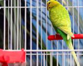 Green parrot in a cage — Stock Photo