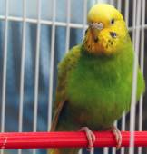 Parrot sits in a cage — Stock Photo