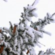 Fir with cones in the snow — Stock Photo #64015985