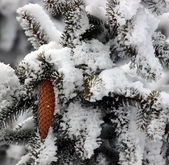 Fir with cones in the snow — Stock Photo