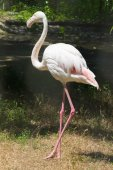 Greater flamingo bird — Stock Photo