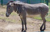 Zebra portrait on Askania Nova — Stock Photo