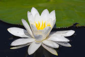 Water lily on the lake — Stock Photo