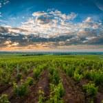 Vineyards of Beaujolais — Stock Photo #55227057