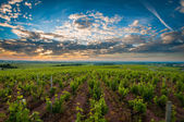 Vineyards of Beaujolais — Stock Photo