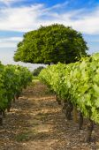 Vineyards of Frontenas village, Beaujolais, France — Stock Photo