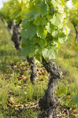Vine and leaves of vine — Stock Photo
