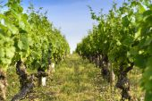 Into a field of vineyards — Stock Photo