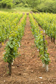 Young vineyards for red wine — Stock Photo