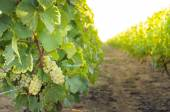 Vineyards and sunny day, France — Stock Photo