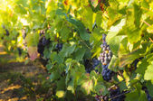 Grappe for red wine — Stock Photo