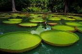 Giant water lillies. Victoria amazonica — Stock Photo