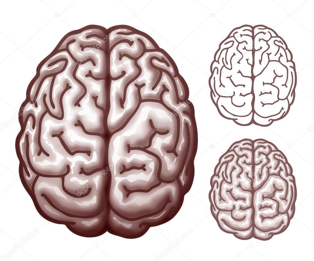 brain line drawing top - photo #13