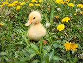 Little Duck Posing — Stock Photo