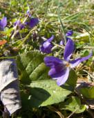Fioletowy kwiat makro — Zdjęcie stockowe