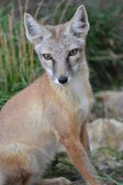 Corsac fox — Stock Photo