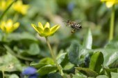Bee flying to a flower — Stock Photo