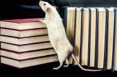 Rat and books — Stock Photo
