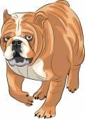 Vector. English bulldog. — Stock Vector