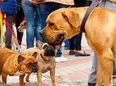 French bulldogs and Boerboel. — Stock Photo