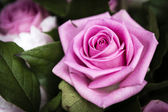Beautiful pink Rose flower in the garden, the perfect gift for all occasions — Stock Photo