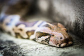 Python snake, the sneaking serpent — Stock Photo