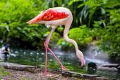 Pinkish-white greater flamingo bird — Stock Photo