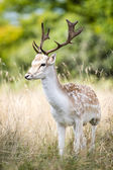 Male fallow deer — Stock Photo