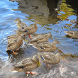 Duck family — Stock Photo #64935325