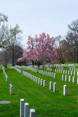Cherry blossom at the Arlington Cemetery — Stock Photo