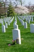 Albero di ciliegio presso il cimitero di Arlington — Foto Stock