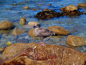 Juvenile Western Gull — Stock fotografie