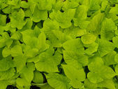 Sweet Potato Vine — Stock Photo