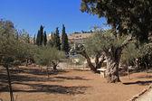Jardin de Gethsémani en Israël — Photo