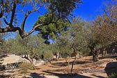 Jardim de Getsêmani, em Israel — Fotografia Stock
