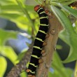 Tetrio Sphinx Caterpillar native to Antigua Barbuda in the Caribbean Lesser Antilles West Indies eating a leaf on a frangipani tree. — Stock Photo #55336267