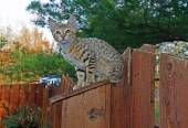 A spotted gold colored domestic Serval Savannah kitten on a wooden fence with green eyes. — Stock Photo