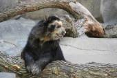 Black and White Andean Bear — Stock Photo